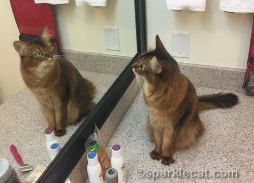 somali cat looking at herself in hotel bathroom mirror