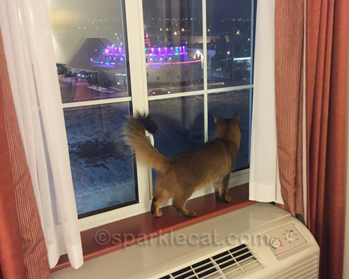 somali cat looking out hotel room window