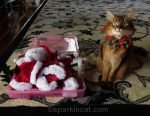 somali cat can't decide what to wear to meet Santa