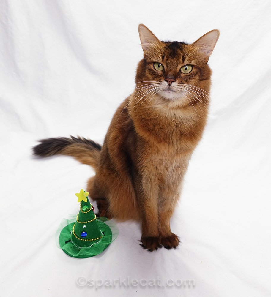 somali cat with christmas witch hat