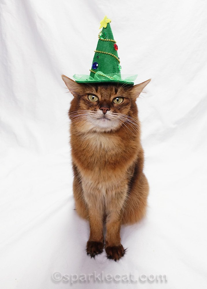 somali cat wearing Christmas witch hat