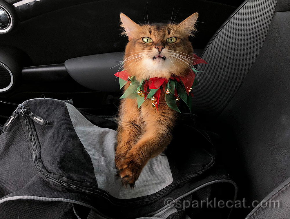 derp-face somali cat in festive holiday collar