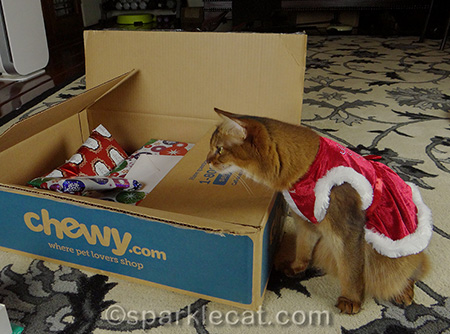 Somali cat, cat and box, cat Christmas, cat christmas gifts