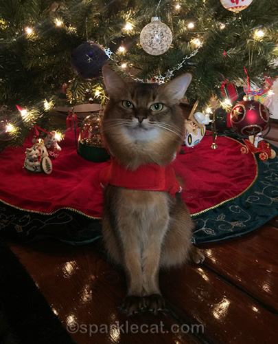 somali cat without Santa hat on