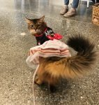 somali cat reluctant to wear dress for Santa visit