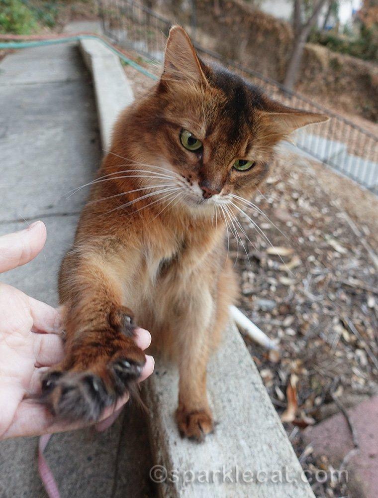 somali cat giving paw