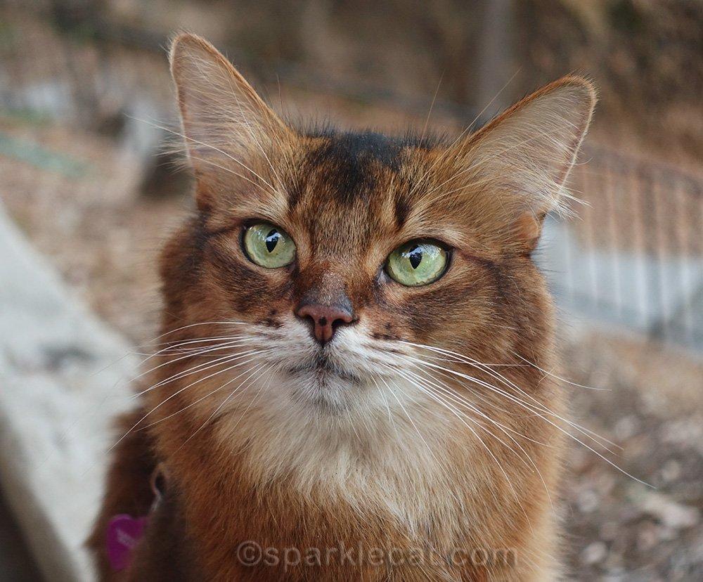 Portrait of a Somali cat