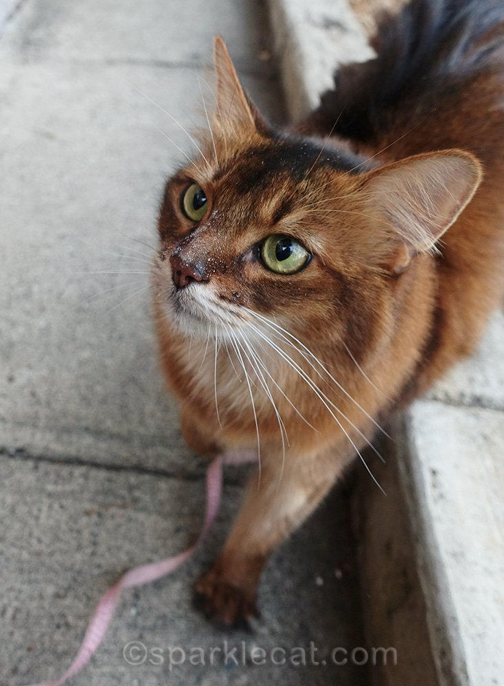 somali cat with treat dust on her face
