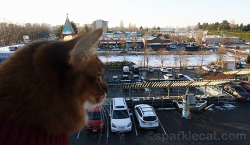 somali cat looks out over city