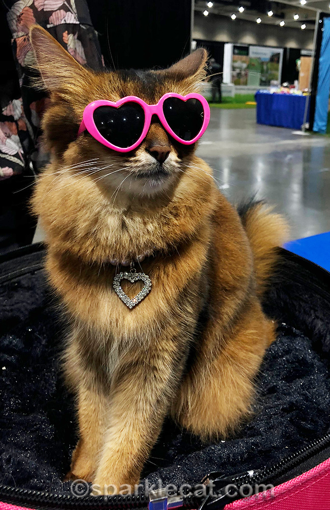 Somali cat wearing sunglasses and a necklace