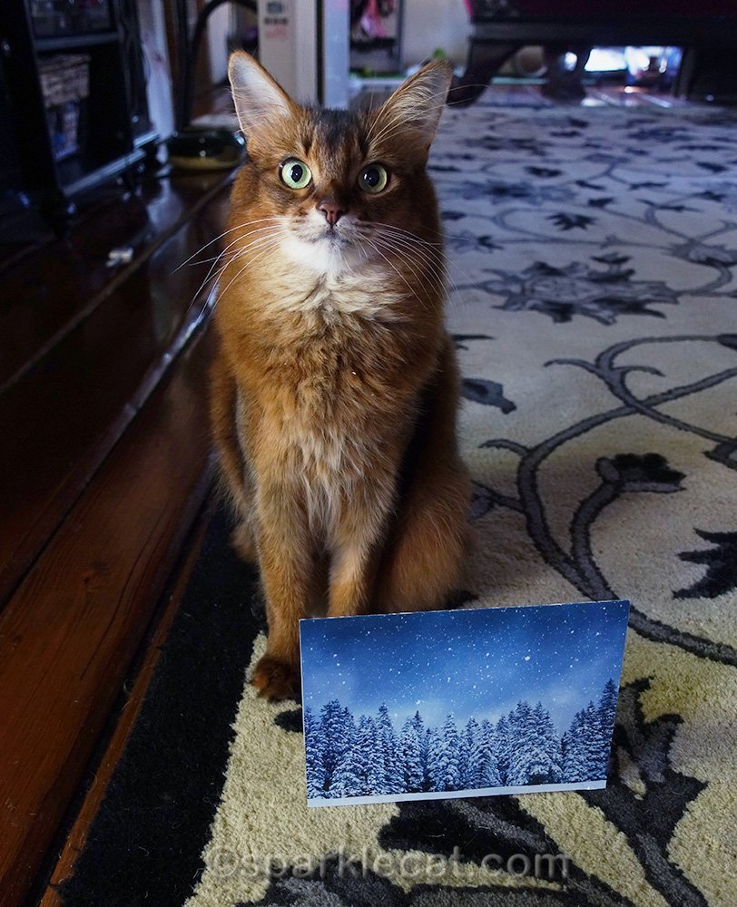 somali cat with card from secret paw