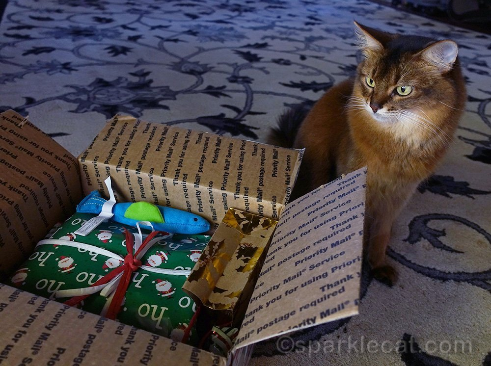 Somali cat looking at secret paws gifts