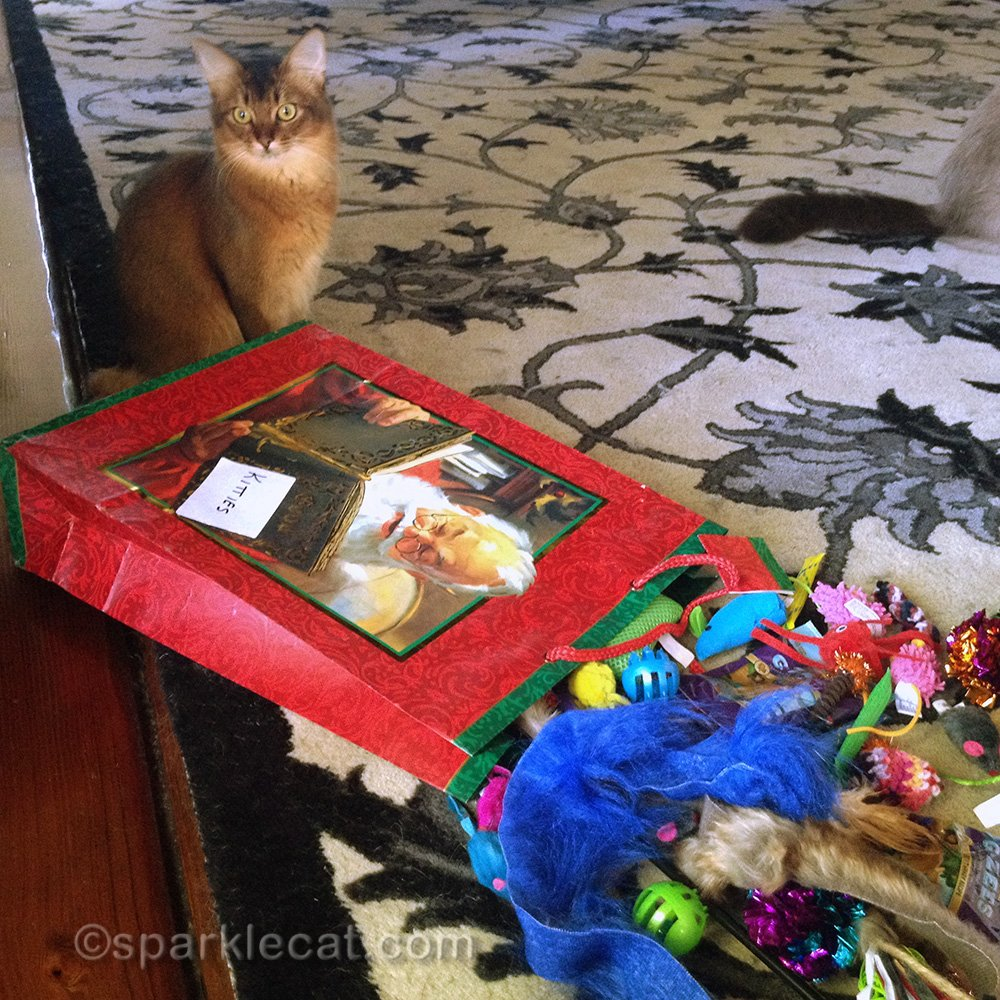 Somali cat looking at bag of goodies for the Santa Kitty Toy Hop