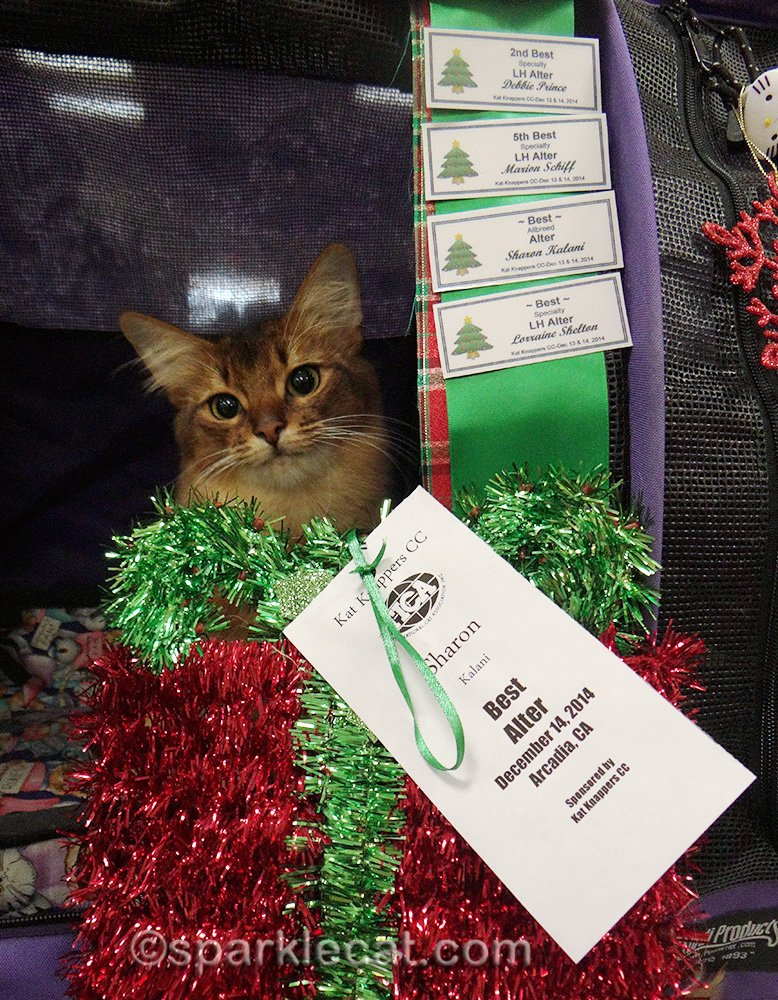 Happy Somali cat with wins from cat show