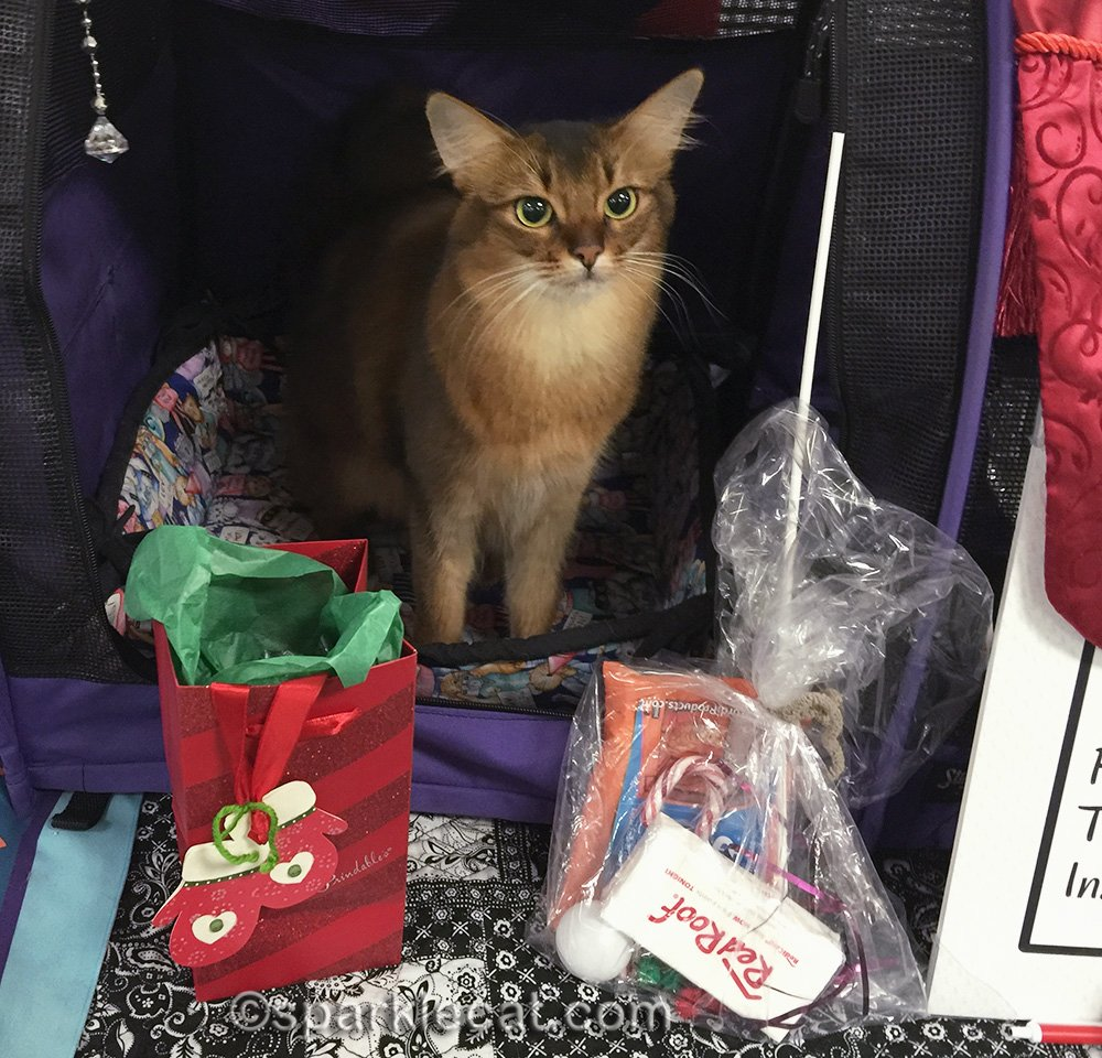 somali cat at holiday cat show in 2015