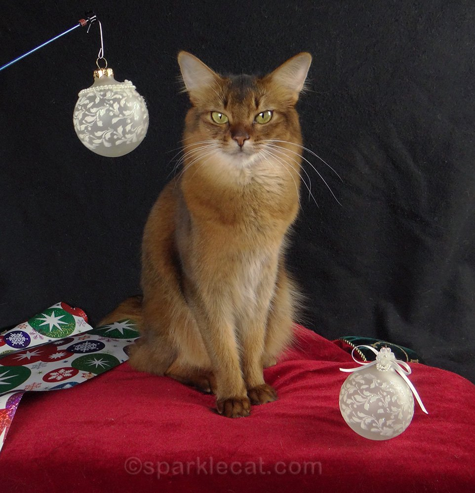 somali cat posing for holiday photo shoot