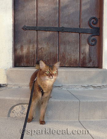 Somali cat, cat on steps, cat on least, cat at front door