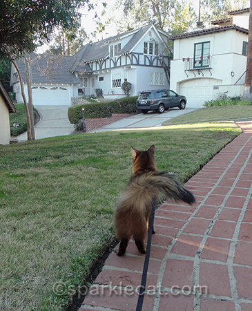 Somali cat, cat in yard, neighborhood cat,