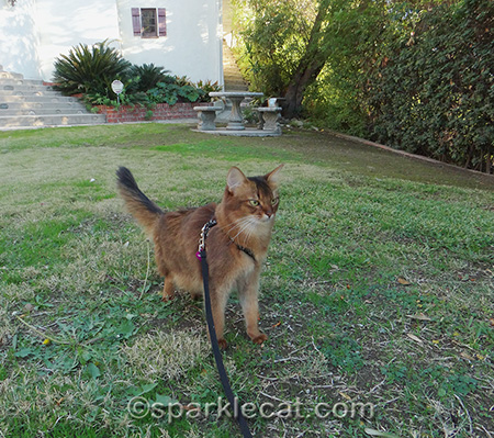 Somali cat, cat on leash, cat in yard