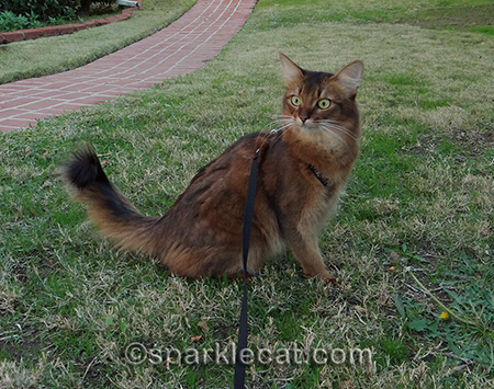 Somali cat, cat on grass, cat on leash