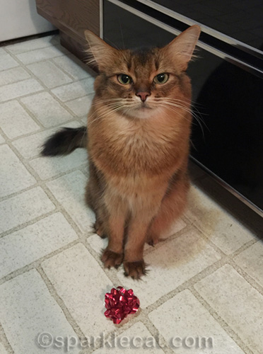 somali cat in kitchen with Christmas bow