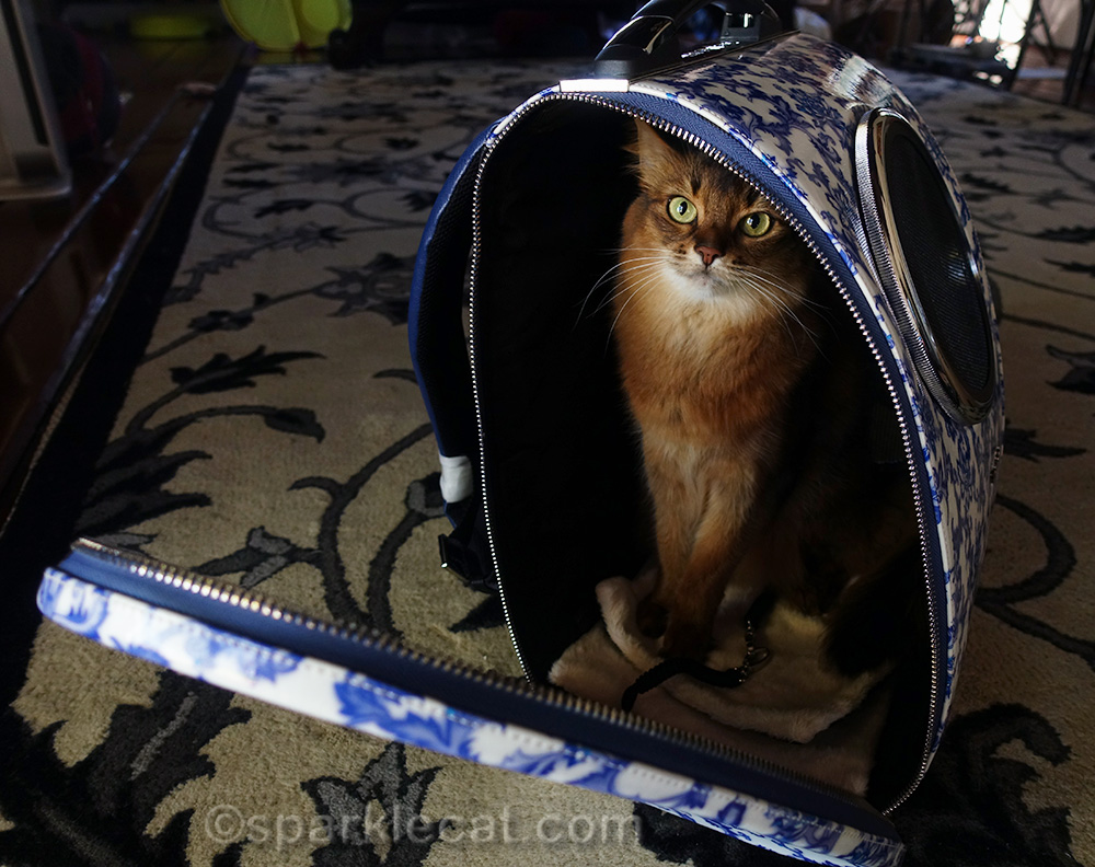 somali cat sitting in Cloverpet backpack carrier