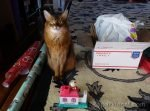 somali cat getting ready to wrap and pack her presents for her secret paws