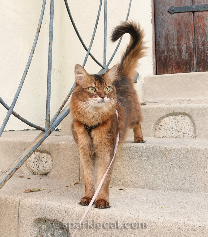 somali cat coming down front stairs