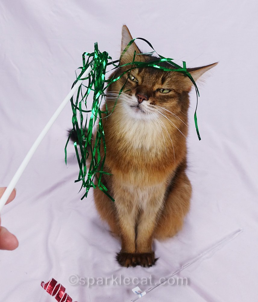 somali cat looking annoyed because cat toy is on her head