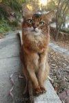 somali cat sitting on ledge and posing