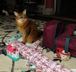 Somali cat surrounded by wrapping paper