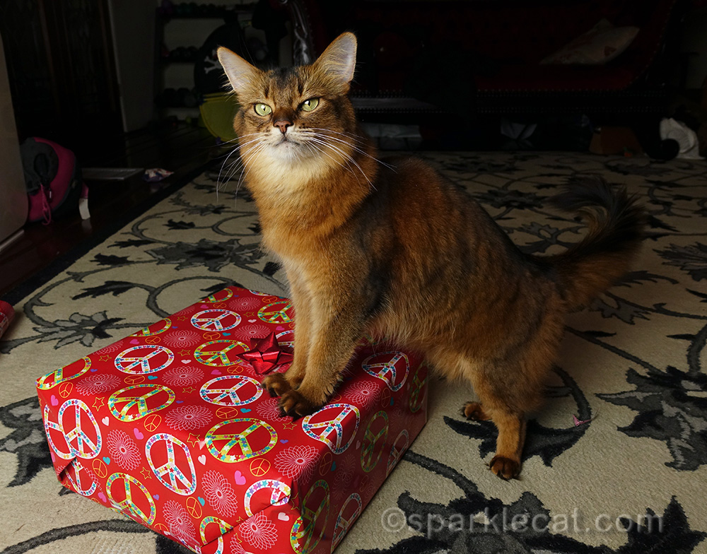 somali cat with Christmas gift