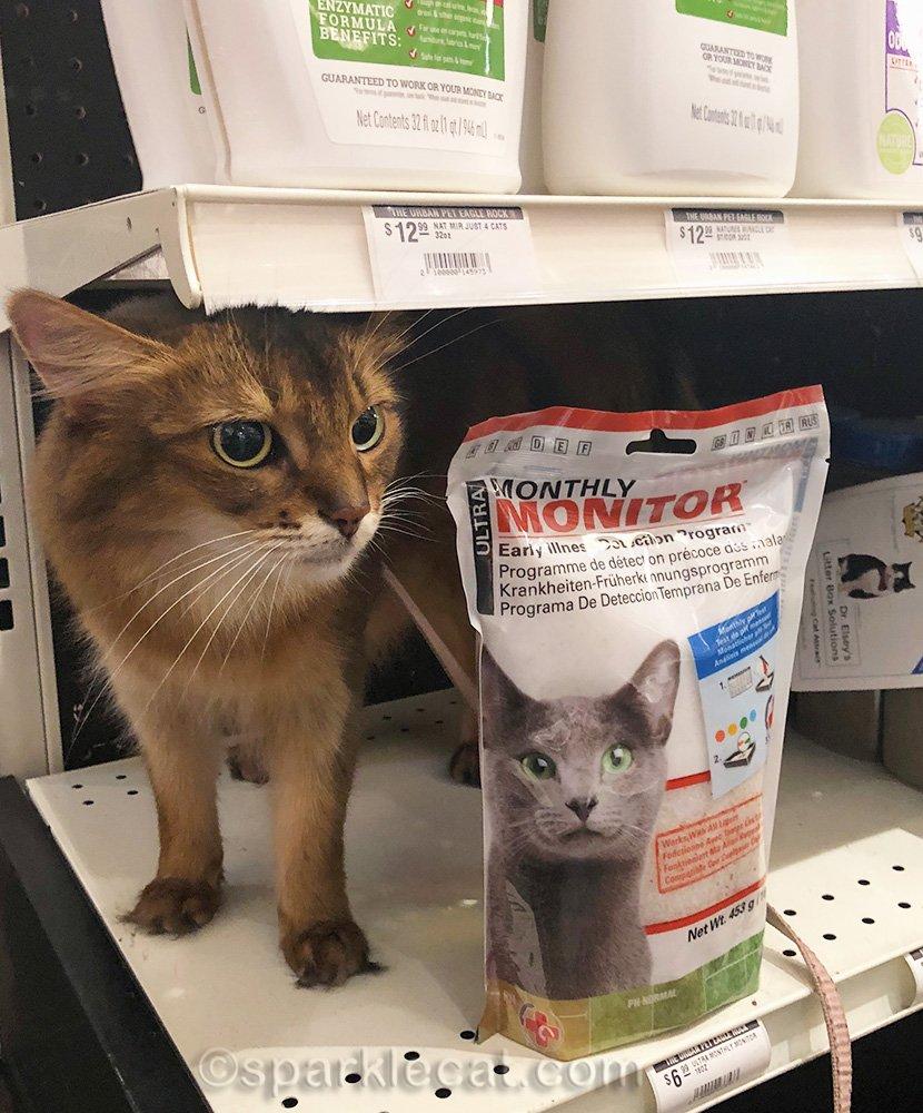 Somali cat on a shelf in the pet shop
