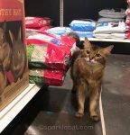 somali cat in pet shop aisle