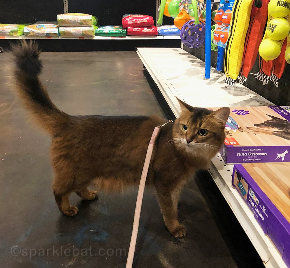 somali cat in dog toy section of pet shop
