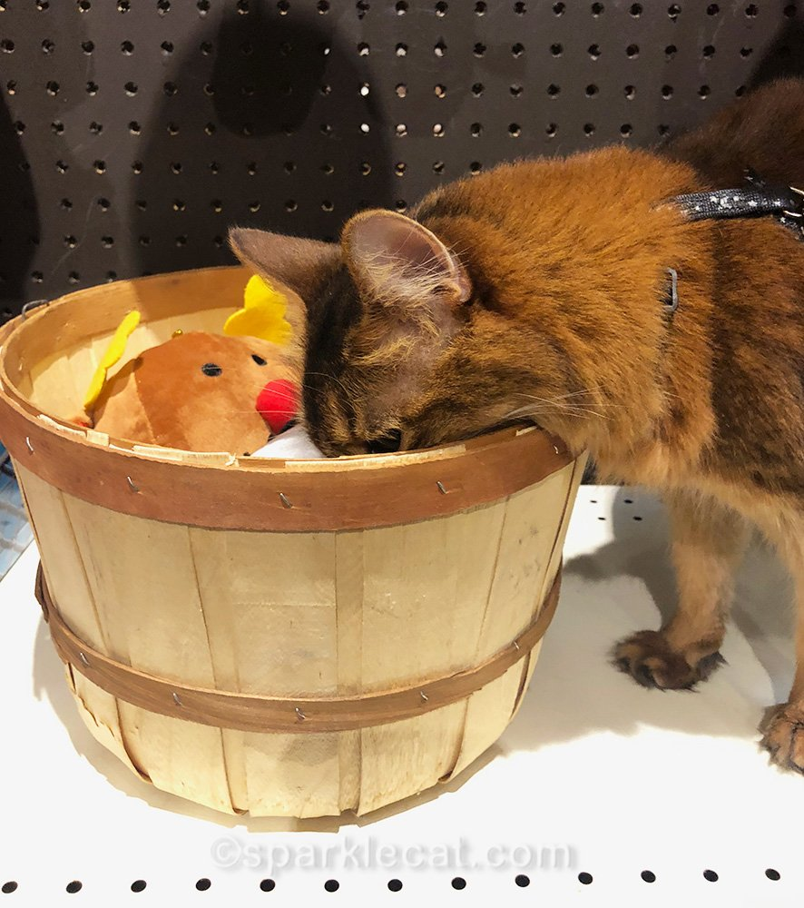 somali cat with head buried in basket of dog toys