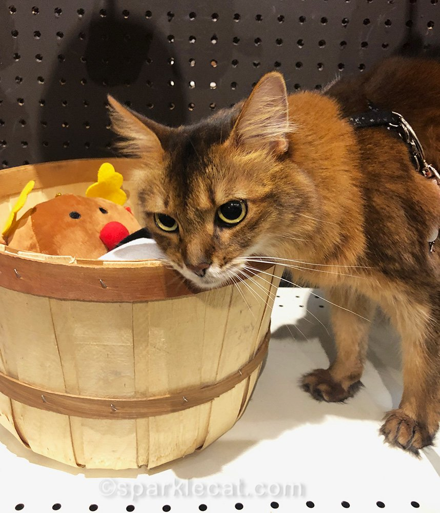 somali cat disappointed that dog toys don't contain catnip