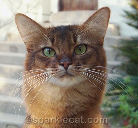 Somali cat, cat outside, cat portrait, cat photography
