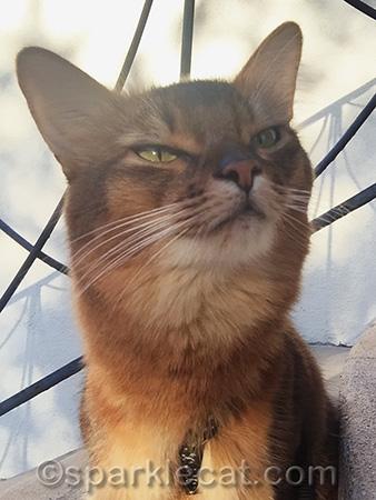 somali cat, cat portrait, cat selfie