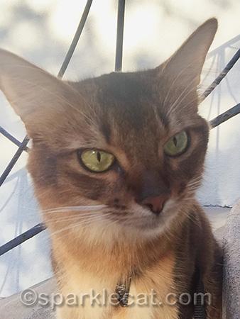 Somali cat, cat portrait