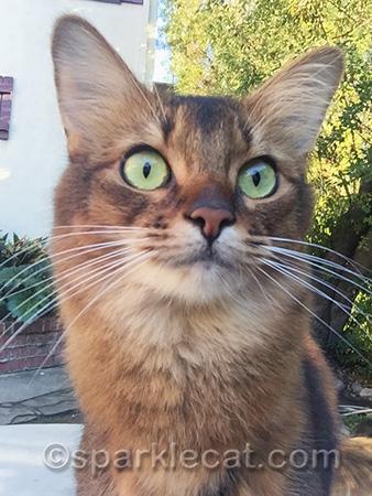 somali cat, somali cat portrait, cat selfie