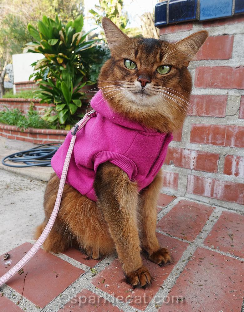 somali cat outside in raspberry hoodie
