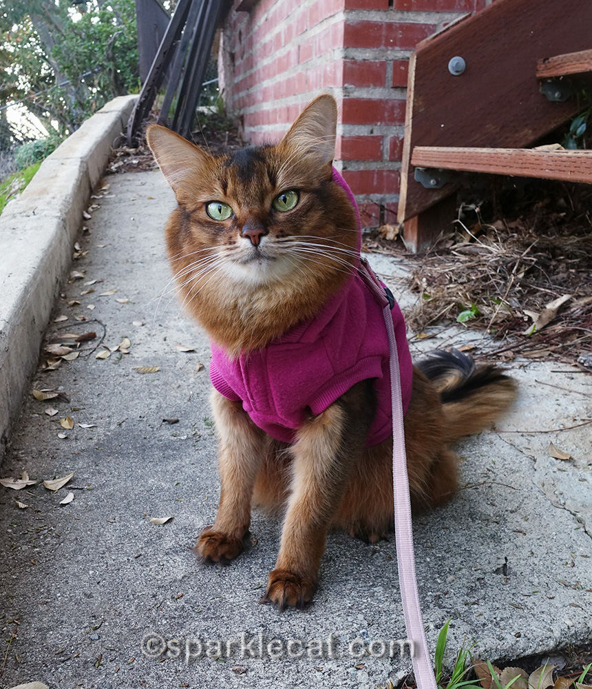somali cat wishing she could stay out a lot longer