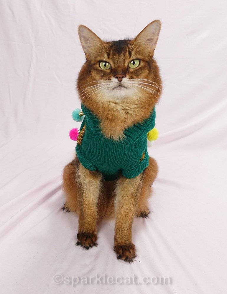 somali cat says no to wearing the ugly Christmas sweater for her calendar