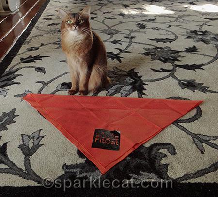 Somali cat, orange bandana