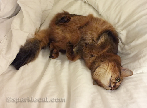 somali cat on hotel bed in awkward pose