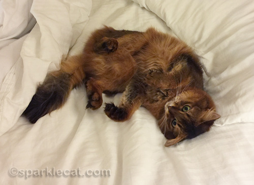 somali cat continuing to roll on hotel bed