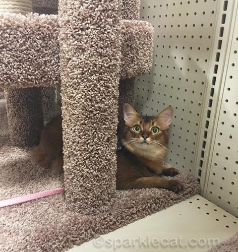 somali cat in pet store