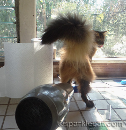 somali cat getting her rear end blow dried