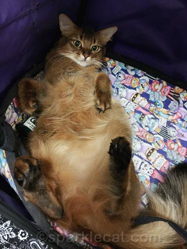somali cat on back waiting for a tummy rub